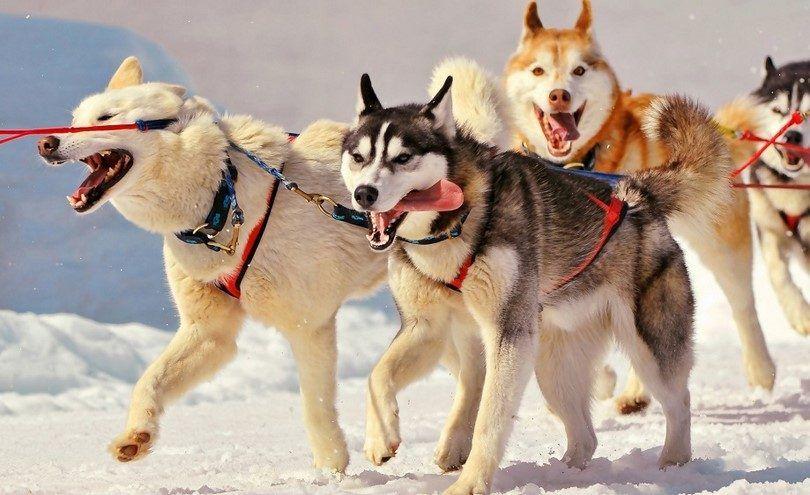 huskies siberianos que trabajan