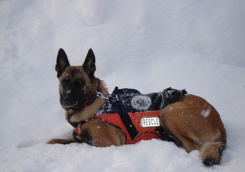 Perro de búsqueda y rescate