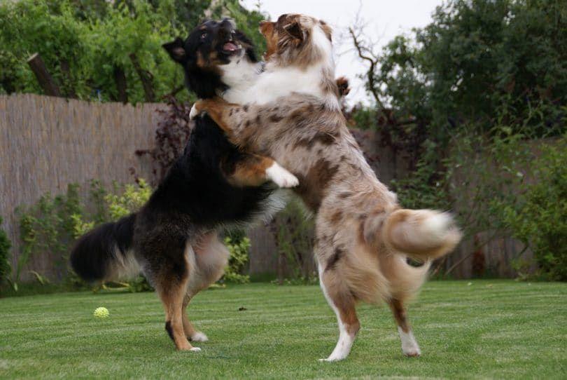 perros de pastor australiano