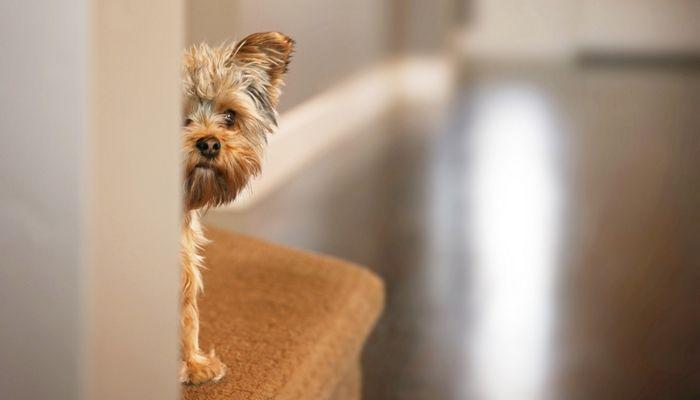 ¿Le da a su perro una receta médica para ayudar con la sensibilidad al ruido