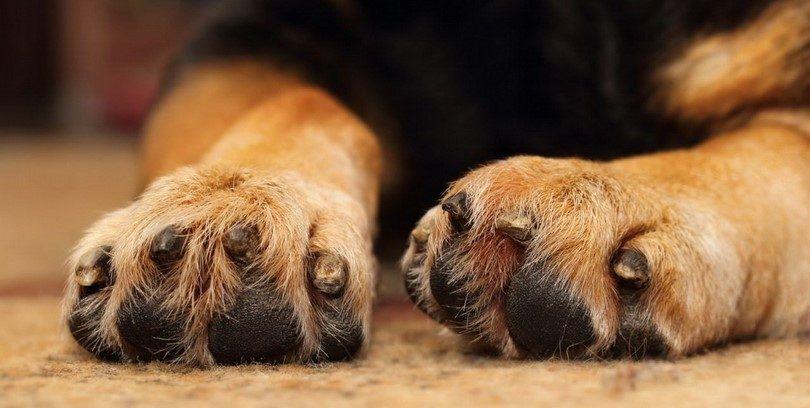 La infección por levaduras en las patas de los perros: diagnóstico y manejo