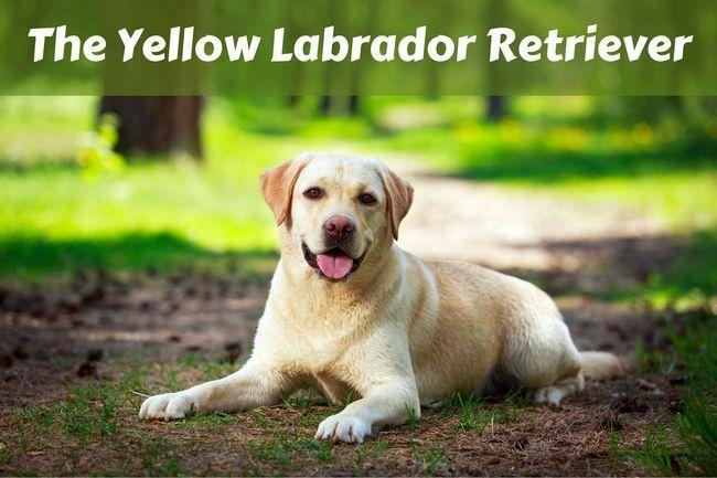 Hechos de labrador retriever amarillo
