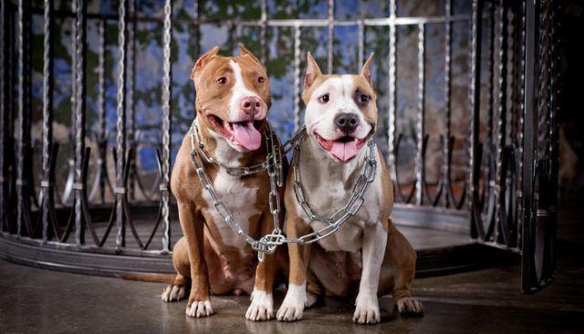 A que no adivinas lo que estos perros pit bull hicieron para evitar la eutanasia